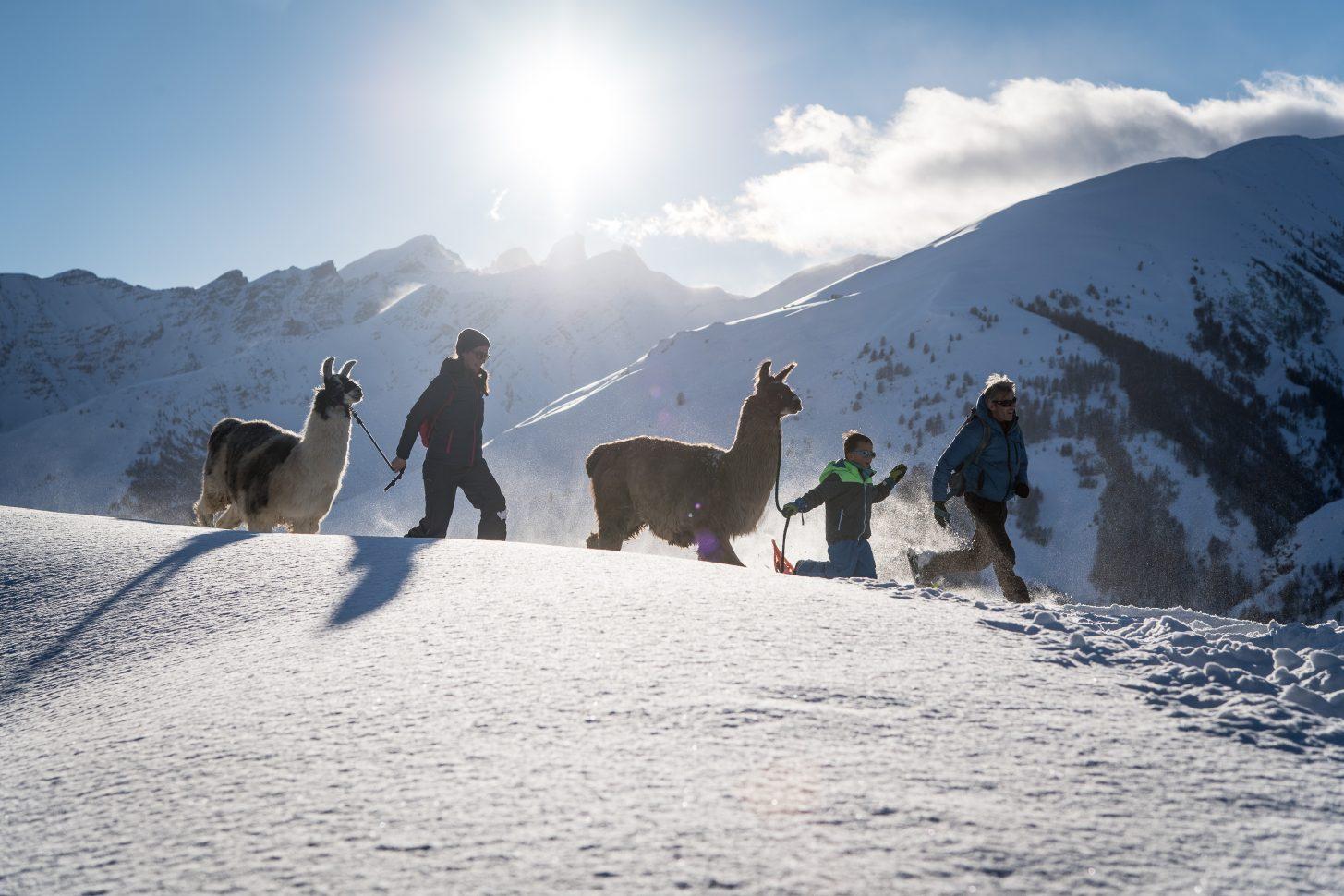 Partir en raquettes accompagnés par des lamas !